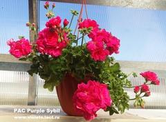PAC Purple Sybil