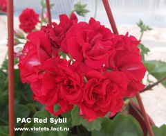 PAC Red Sybil