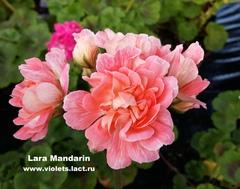 Lara Mandarin