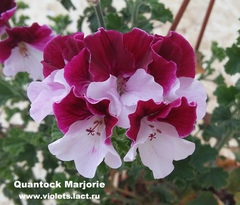 Quantock Marjorie - ангел