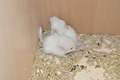 Родились 2 белорозфиолетки  (возможно гомобеж)