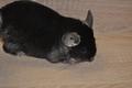 Чёрный бархат, самка