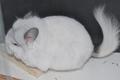 Белая ангора, возможно бархатная