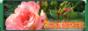 Питомник цветов - Розы, гибискусы, фуксии, азалии, пеларгонии. СПб