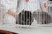 """IV Открытая Выставка Шиншилл """"Шиншиляндия 2012 осень"""" 6 октября 2012 года СПб"""