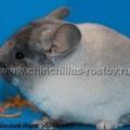 Сафари (Бархатный белый эбони нФ)