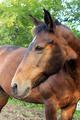 Легенда, по-домашнему Малютка. Наша самая заслуженная лошадь, а так же верный друг и помошник для начинающих всадников и детей!