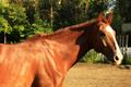 Любомир или Сева. Очень человекоориентированный и общительный конь, всегда готовый проверить Ваши карманы на наличие угощения :)  Для продвинутых всадников.