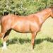 Лира, уэльский пони