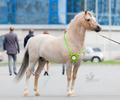 Жеребец Уэльский пони