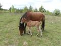 Продам лошадь с жеребчиком