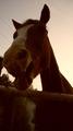 Лошадки КЛЛ Золотая колесница