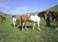 Продаются лошади (табун 35 голов)