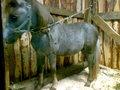 продается чп шетленский пони