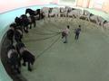 Требуется служащий по уходу за лошадьми в цирк