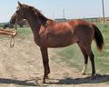 Лошади на продажу из Ростовской области