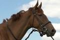 Продам лошадь (спорт)