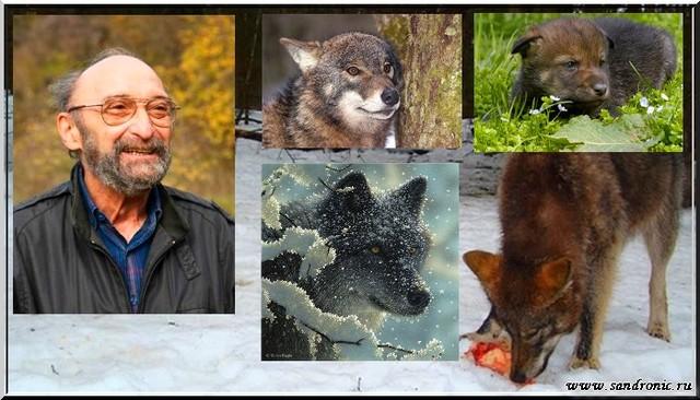 Я. К. Бадридзе. Волк. Вопросы онтогенеза поведения, проблемы и метод реинтродукции