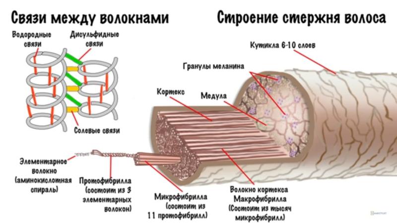 структура волосяного стержня
